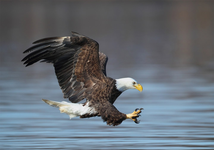 the bald eagle community The bald eagle was removed from the federal endangered list in 1994 in maine,  however, the bald eagle is still considered endangered bald eagles live in.