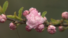 Flowering Dwarf Almond