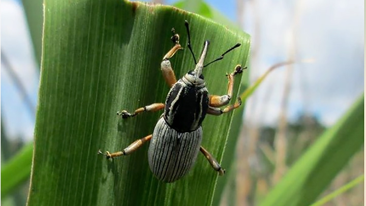 Billbug