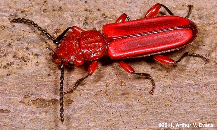 red flat bark beetle