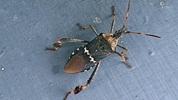 Eastern leaf-footed bug