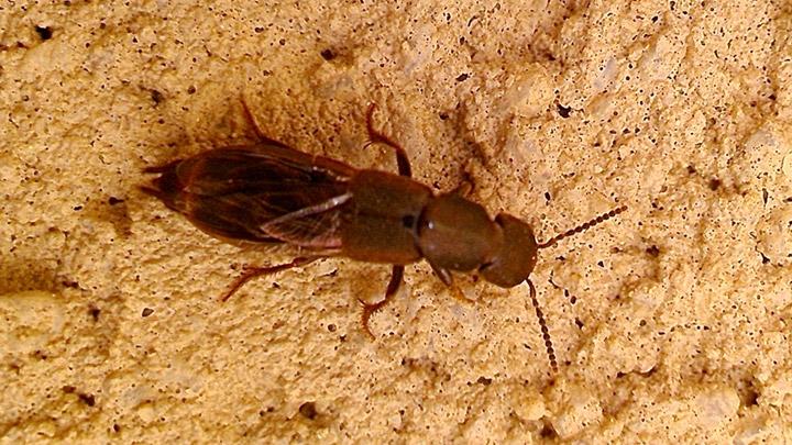 Platydracus maculosus (Granvenhorst)
