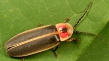 Big dipper firefly