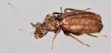 Dasycerus carolinensis