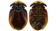 Venezuelan cockroach