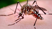 Female Aedes aegypti