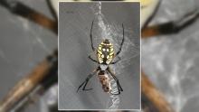 Female black-and-yellow garden spider