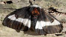 female buck moth
