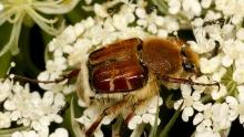 flower scarab