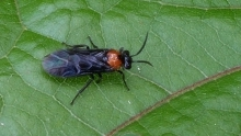 Adult Hibiscus Sawfly