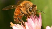European honey bee worker