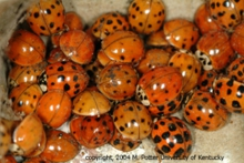 ladybugs mass