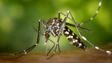 Female Asian tiger mosquito