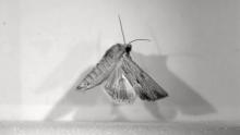 moth flight