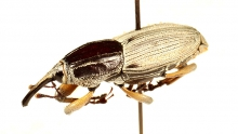 rare weevil