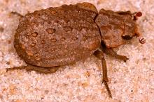 Dirt Beetle