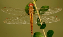 Female wandering glider